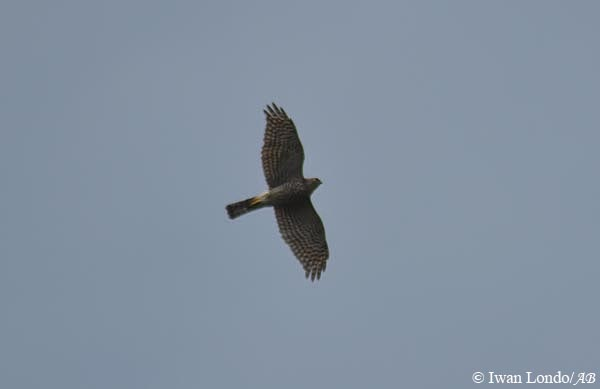 Accipiter soloensis_by_ Iwan Londo
