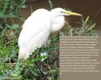 Burung ini bukan diam karena lelah, tapi dia tak bisa kenmana-mana karena salah satu kakinya terikat tali panjang
