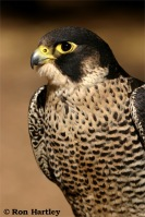 African_Peregrine