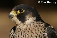 African_Peregrine_Falcon
