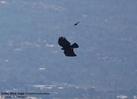 Indian Black eagle