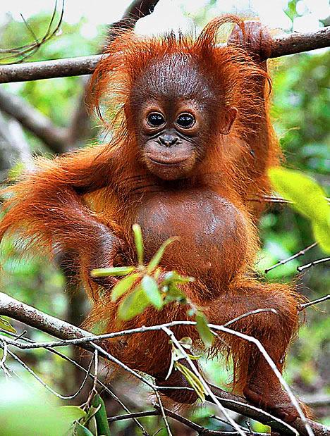 http://4raptor.files.wordpress.com/2010/06/orangutan2_468x619.jpg?w=468&h=619