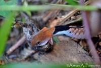 Macropisthodon-rhodomelas_Way-Rilau_AAP_002