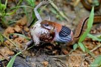 Macropisthodon-rhodomelas_Way-Rilau_AAP_003