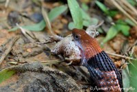 Macropisthodon-rhodomelas_Way-Rilau_AAP_005