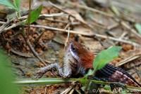 Macropisthodon-rhodomelas_Way-Rilau_AAP_006