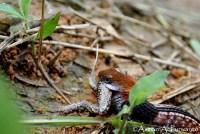 Macropisthodon-rhodomelas_Way-Rilau_AAP_007