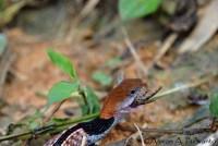Macropisthodon-rhodomelas_Way-Rilau_AAP_011