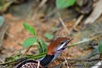 Macropisthodon-rhodomelas_Way-Rilau_AAP_012