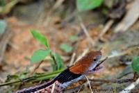 Macropisthodon-rhodomelas_Way-Rilau_AAP_013