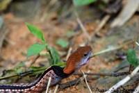 Macropisthodon-rhodomelas_Way-Rilau_AAP_014