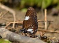 Danainae>> Euploea radhamantus