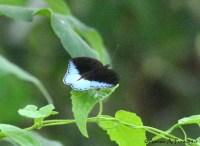 Limenitidinae>> Tanaecia iapis