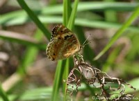 Nymphalinae>> Junonia orithya