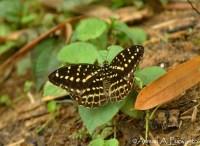 Limenitidinae>> Lexias canescens