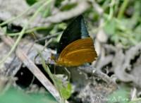 Limenitidinae>> Lexias pardalis