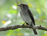 AsianBrown_flycatcher_181011_aap2