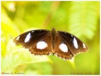 Butterflies_Hypolimnas_bolina_151011_aap1