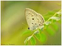 Butterflies_Lycaenidae_151011_aap1