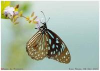 Butterflies_Nymphalidae_081011_aap1