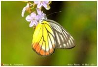 Butterflies_pieridae_111011_aap1