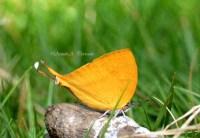 Lycaenidae_02Nov2011_aap4