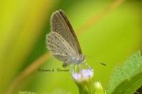 Lycaenidae_04Nov2011_aap1