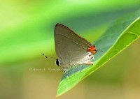 Lycaenidae_24oct11_aap1
