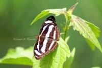 Nymphalidae_02Nov11_aap1