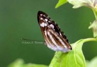Nymphalidae_02Nov11_aap2