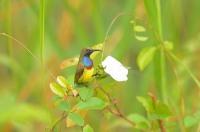 Burung Madu Sriganti, Dewasa