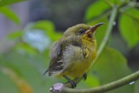 Burung Madu Sriganti, Anakan