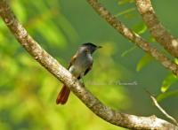 ssp inchei . Thailand