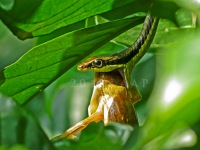 Dendrelaphis formosus