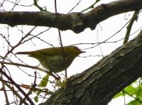 Cikrak daun, burung kecil yang anggun,..