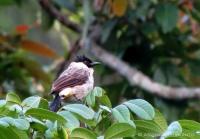 cucak kutilang burung yang tak asing lagi dikehidupan kita sehari-hari