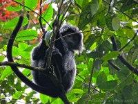 Lutung Jawa, salah satu primata yang bisa kita jumpai di jalur Goa Jepang