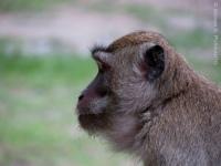Monyet ekor panjang(Macaca fascicularis) pengganggu tenda peserta