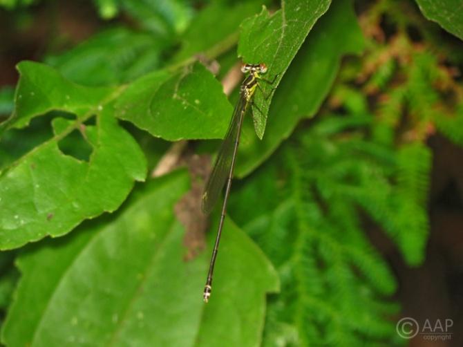 Individu betina C. membranipes/Suaka Elang, Loji, 26/01/13