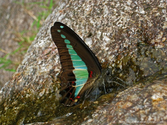 Common Bluebottle/Graphium sarpedon (Linnaeus, 1758)