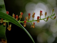 Liparis crenulata - CA Kawah Ijen