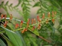 Liparie crenulata - CA Kawah Ijen