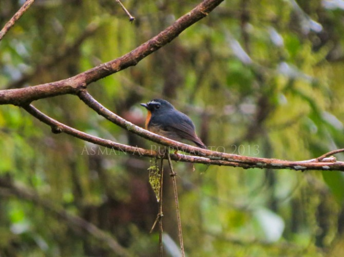 Adult Male, Cangar, East Java. 1.04.13