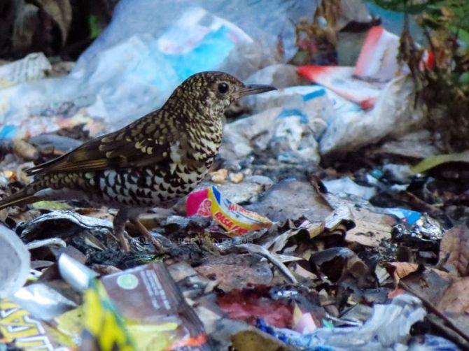 Anis Sisik atau Punglor Macan, meski seksi tapi mau main di pembuangan sampah