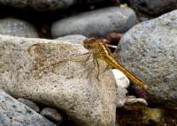 Capungsmbar garishitam (Crocothemis servilia) betina