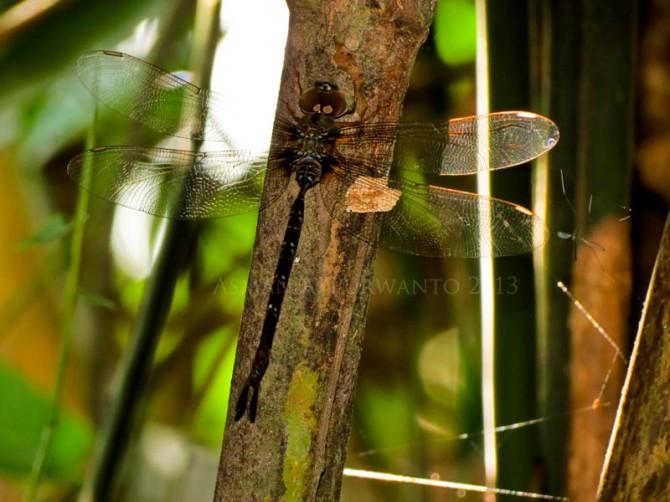 Gynacantha subinterrupta, capung misterius yang aktif diwaktu petang.