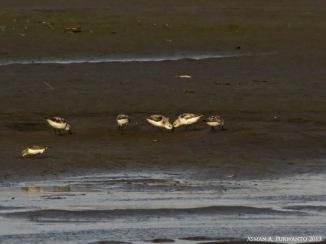 Kedidi Putih (Calidris alba) pun mulai berdatangan di Delta Progo, Trisik dan Pandansimo,.. satu individu paling kiri depan Kedidi Leher Merah