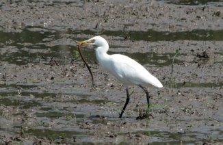 Kuntul Kerbaau (Bubulcus ibis) dengan tangkapanya. Seekor belut menjadi menu makan siangnya hari itu (08/09/13)