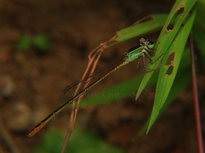 Agriocnemis femina-Wonosadi-male-aap-13
