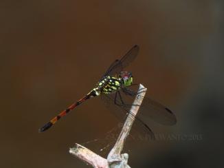 Agrionoptera insignis-Wonosadi-aap-11